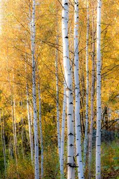 ***Autumn aspen (Finland) by Ari Salmela af. Nature Images, Nature Pictures, Aspen Trees, Birch Trees, Birch Forest, Autumn Trees, Autumn Flowers, Pictures To Paint, Tree Art