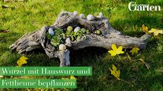 Small design ideas with houseleek-Kleine Gestaltungsideen mit Hauswurz In our video we show you how to transform a weathered root with houseleek and stonecrop into a beautiful decoration for the entrance or terrace. Vegetable Garden Design, Diy Garden, Garden Soil, Garden Care, Garden Beds, Garden Types, Vegetable Gardening, Short Plants, Buy Plants