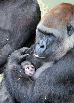 I love my Mom. Gorillas.