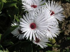 500 Livingstone Daisy a.K.a Ice Plant Seeds-Great for perennial flower garden.