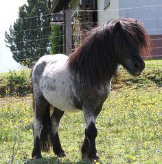 "32.7"" Shetland pony stallion Timer v.d. hegelsom"
