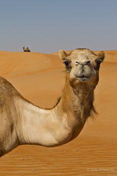 Wild Camels by Julia Wimmerlin on 500px | #abudhabi #camels #desert