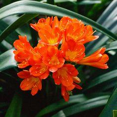 Clivia miniata, Abigail.  Colorado Clivia's plant number 2070A.