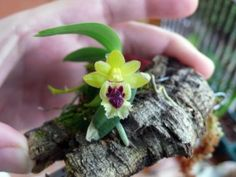 it would be so cool to have flowering orchids in my future dart frog tank!  Haraella odorata: miniature orchid that does very well in vivariums