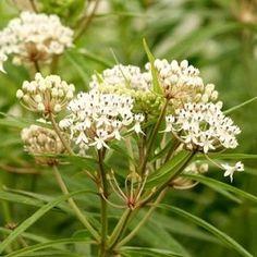 Aquatic Milkweed - Butterfly Host Plant