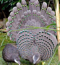 Grey Peacock