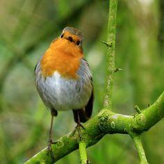 Yes #Louie #Robin you are extremely #handsome #birdphoto #birds_perfection #birdsofinstagram #birdoftheday #birdphotography #birdwatch #robins #robinsofinstagram #featheredfriends #featherperfection #featherfans #canonphotography #ilovebirds #photooftheday #picoftheday #naturephotos #naturepic #nature #wildlifeaddicts #wildlifephoto #wildlifelover #wildbirds #britishbirds #britishwildlife #ilovehim #ilovethisguy