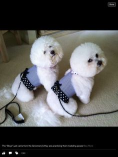 2 of the most beautiful bichons