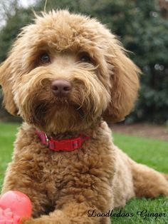 labradoodle by Kimberly Prentiss Cute Cats And Dogs, I Love Dogs, Cute Puppies, Dogs And Puppies, Doggies, Goldendoodle Haircuts, Goldendoodle Grooming, Dog Breeds That Dont Shed, Baby Animals