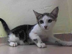 THE NYCACC WILL EUTHANIZE THIS KITTEN, AND OTHERS, UNLESS A HOLD IS PLACED ON HER BY NOON TOMORROW, 7/18/14.  LOG IN HERE TO SAVE HER LIFE....  http://www.nycacc.org/PublicAtRisk.htm  ........Brooklyn Center  My name is MARIE. My Animal ID # is A1006523. I am a female brn tabby and white domestic sh. The shelter thinks I am about 12 weeks old.