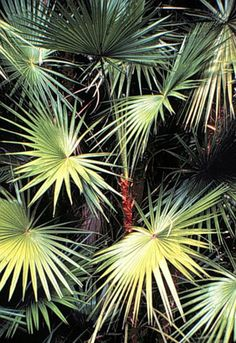 Everglades Palm Image used with permission from the University of Florida/IFAS a… Tropical Landscaping, Tropical Plants, Tropical Flowers, Tropical Gardens, Landscaping Plants, University Of Florida, State Of Florida, Florida Home, River Of Grass