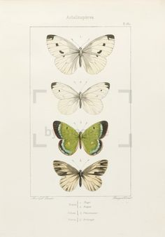 ProvenancePart of the work Papillons d'Europe (A. Noel, 1834). Alexis Nicolas Noël (1792-1871) was a French painter and lithographer. The collection Papillon...