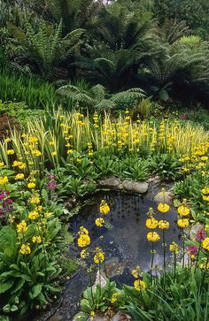 https://flic.kr/p/jJ3edh | Water in English Gardens (26 of 33) |Trebah Gardens, Cornwall, England | Trebah Gardens, Nr Falmouth, Cornwall, England: Situated in a sheltered valley in the far south west of Cornwall, this garden has a mild and often frost free micro climate. Running down the valley is a delightful small stream that is superbly planted with candelabra Primula and Ajuga.  It is bordered by rhododendrons, Dicksonia, Gunnera, Hydrangea and other moisture loving plants. In spring…