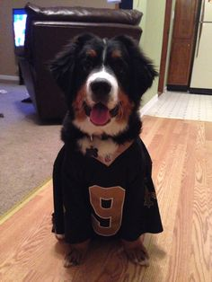 New Orleans Saints Fan and  Bernese Mountain Dog Puppy