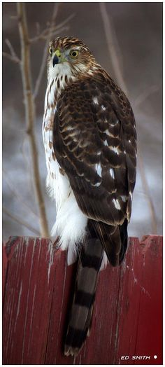 The Hunter - Hawk - by Ed Smith (I think this is a broad-winged hawk)