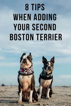 Getting a Second Boston Terrier Isn't A Walk In the Park. Here are 8 Tips to Set You Up For Success