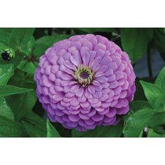 Giant Dahlia Flowered Violet
