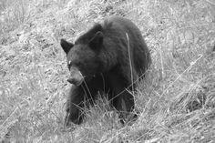 Meu amigo urso...rs Jasper - Canadá