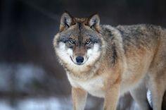 800px-Canis_lupus_2_(Martin_Mecnarowski)