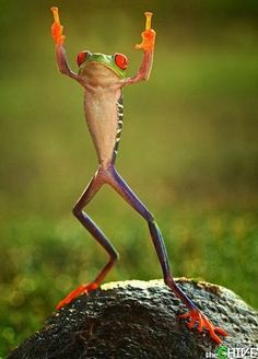 Now this, THIS is real life leap frog! These red-eyed tree frogs look like they're jumping for joy. via The Sun) 😂😂😂 Animals And Pets, Baby Animals, Funny Animals, Cute Animals, Beautiful Creatures, Animals Beautiful, Red Eyed Tree Frog, Funny Frogs, Tier Fotos