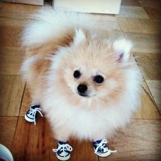 A Pomeranian pup in sneakers. Animals And Pets, Baby Animals, Funny Animals, Cute Animals, Cute Puppies, Cute Dogs, Dogs And Puppies, Doggies, Spitz Pomeranian