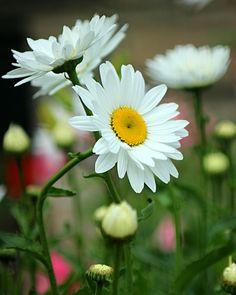 daisy meadow by SvitakovaEva