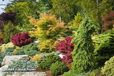 1203664 Dwarf conifers w/ Japanese Maples [Abies cv. Container Gardening, Gardening Tips, Dwarf Japanese Maple, Landscaping Retaining Walls, Acer Palmatum, My Secret Garden, Dream Garden, Amazing Gardens, Garden Inspiration