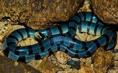 Cobra Krait malasiana azul  A Krait azul é encontrada em todo o sul da Ásia e Indonésia. Sua picada tem 50% de chances de matar uma pessoa, mesmo tomando o antídoto rapidamente.