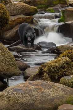 black bear ~ river foraging