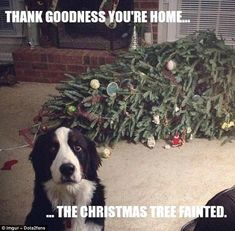 Worth a shot: A very handsomeBernese mountain dog who, by the look in his eye, thinks he might just get away with it