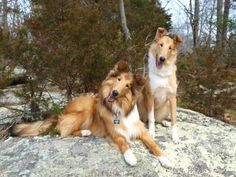 Smooth Collie dog photo | rough and smooth Collies | Dogs