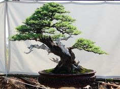 INDONESIA NATIONAL BONSAI SHOW 2010