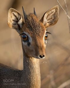 "Creatures-Alive: ""dik-dik by mogenstrolle "". find this pin and more on funny wild animals by lmao animal Funny Wild Animals, Cute Baby Animals, Animals And Pets, Animal Babies, Small Animals, Nature Animals, Wildlife Biologist, Tier Fotos, Mundo Animal"