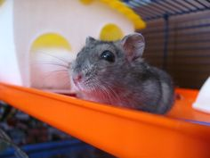 How Long Do Hamsters Live For? The hamster is one of the most popular pets in the world, especially among children. Quite often, hamsters are the first pet that people bring home.