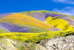 americasgreatoutdoors:  The superbloom has migrated north to Californias Central Valley and the show is simply indescribable at Carrizo Plain National Monument. The Valley floor has endless expanses of yellows and purples from coreopsis tidy tips and phacelia with smaller patches of dozens of other species. Not to be outdone the Temblor Range is painted with swaths of wildlflowers in oranges yellow and purple like something out of a storybook. Visitors are flocking to the area to see this…