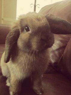 holland lop that looks almost like my Cami! She even used to do her ears that way. :)