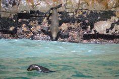 Zuid-Afrika - Plettenberg Bay - Seal