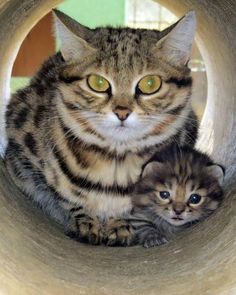 Black-footed cat kitten from the EFBC Feline Conservation Center Animals And Pets, Baby Animals, Funny Animals, Cute Animals, Pretty Cats, Beautiful Cats, Cute Cats And Kittens, Kittens Cutest, Black Footed Cat
