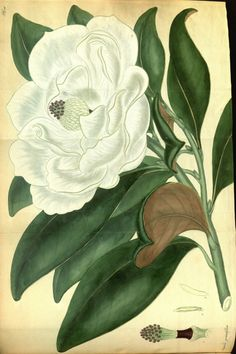 Southern Magnolia - Magnolia grandiflora - Classic large white flowers up to 1 foot across with enticing lemon citronella-scent - circa 1808