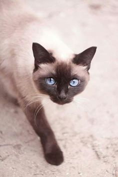 best images and photos ideas about siamese cat - most affectionate cat breeds #CatAndKittens #SiameseCat