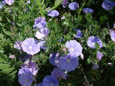Plant photo of: Convolvulus sabaticus
