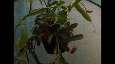 Carnivore plants!!
