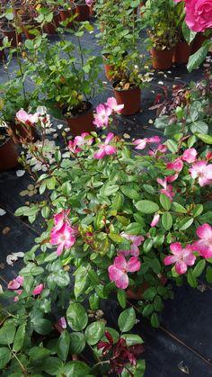 Rose rush eglantiers