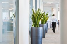 An avenue of Sanseveria displays in slate grey pots enhance a Berkshire office environment