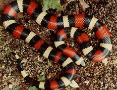 Pueblan Milk Snake. Very beautiful!