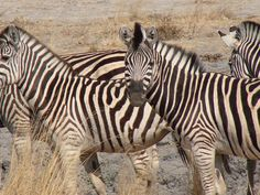 African Zebra, taken April 19, 2006