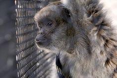 Léo, macaco da espécie monocarvoeiro só encontrada na Mata Atlântica e ameaçada de extinção, é o mais novo hóspede do Passeio Público. Ele ficará sob os cuidados dos biólogos e veterinários da Prefeitura de Curitiba. Curitiba, 08/11/2010. Foto: Luiz Costa/SMCS