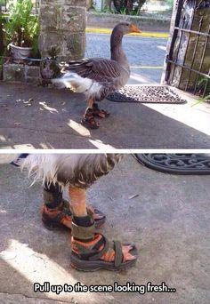 Fancy Duck