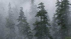 Обои лес, деревья, хвойные, туман, мгла, сибирь