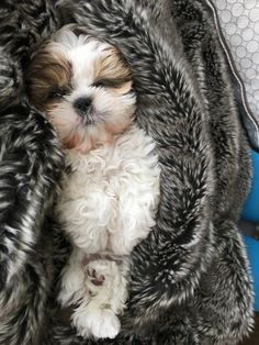 Shih Tzus are true companion dogs. Bred for centuries to be man's best friend, it's no wonder that Shih Tzu puppies are among the most popular of tiny breeds. Are you thinking about bringing a Shih Tzu puppy into your life? Read on to see what to expect! Perro Shih Tzu, Shih Tzu Puppy, Shih Tzus, Cute Dogs And Puppies, Baby Dogs, I Love Dogs, Doggies, Cute Baby Animals, Animals And Pets
